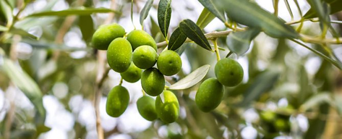 nachhaltige Olivenöl Produktion