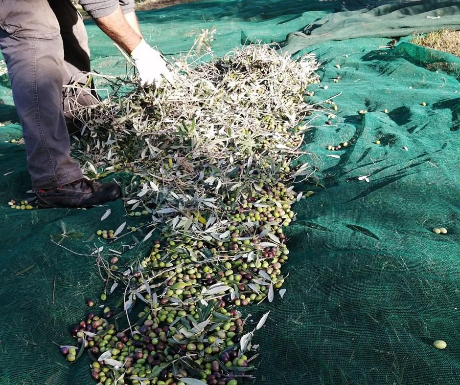 Die Olivenernte 2020 bei Frantoio San Luigi hat begonnen