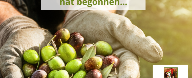 SanLuigi-Die Olivenernte 2020 hat begonnen